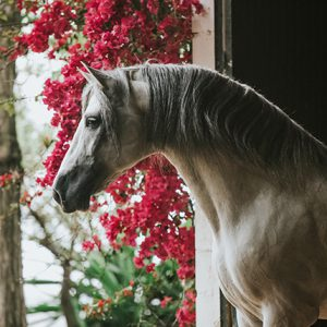 Piraya Equine Art Photo Print